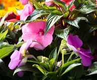 Purple Flowers On green Royalty Free Stock Photography