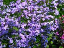 Purple flowers. Stock Photography