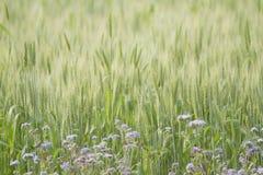 Purple flowers in green wheat field, Bardia, Nepal Stock Images