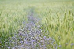 Purple flowers in green wheat field, Bardia, Nepal Royalty Free Stock Photo