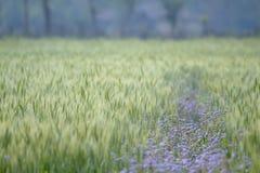 Purple flowers in green wheat field, Bardia, Nepal Royalty Free Stock Photos
