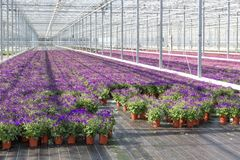 Purple flowers in a greenhouse Royalty Free Stock Image