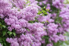 Purple flowers growing on lilac blooming shrub in park. Lilac or common lilac, Syringa vulgaris in blossom. Purple flowers growing on lilac blooming shrub in royalty free stock images