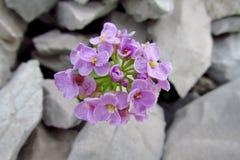 Purple flowers growing on stones. Purple wild flowers growing on stones, beautiful flowers in blossom Royalty Free Stock Photography