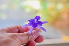 Purple flowers in hand, Give flowers to you royalty free stock image