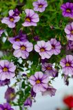 Purple Flowers hanging from a basket in the garden. Closeup Stock Image