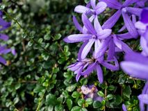Purple flowers have a green background.  Royalty Free Stock Photography