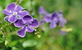 Purple flowers having a sunbath. Duo of purple flowers under a great sunlight Royalty Free Stock Images