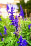 Purple flowers. In the herb garden royalty free stock photography
