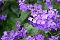 Purple flowers Hesperis matronalis stock photos