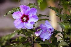 Purple flowers of hibiscus in  garden close up on  blurry backgr. Ound Royalty Free Stock Image