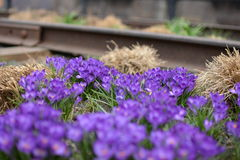 Purple flowers on the Highline Royalty Free Stock Photography