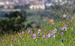 Purple flowers in a hill near a city stock photo