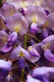 Purple flowers with a hint of yellow growing in Germany royalty free stock photography
