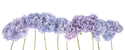 Purple flowers hydrangea (Clipping path) Royalty Free Stock Photography