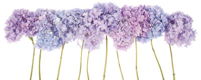 Purple flowers hydrangea (Clipping path) Stock Images