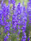Purple flowers. Purple flowers of Hyssopus officinalis (Hyssop) close up stock photography