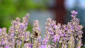 Purple flowers and insects bee. Purple flowers and insects animal bee stock video footage