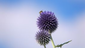 Purple flowers and insects bee. Purple flowers and insects animal bee stock video