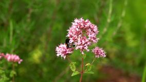 Purple flowers and insects bee. Purple flowers and insects animal bee stock footage