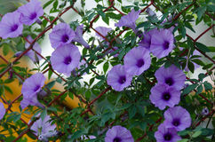 Purple flowers Ipomoea Cairica Beautiful bloom on fence A star stock images