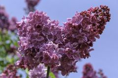 Cluster of purple lilacs blooming in the spring. Purple flowers isolated against a bright blue sky. View looking up at flowers. Rochester, New York royalty free stock images