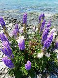 Purple flowers at the lake tekapo  Royalty Free Stock Photos