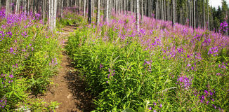 Purple flowers landscape at the edge of forest, path through mou Royalty Free Stock Image