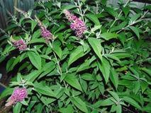 Purple Flowers. Large purple flowers against long dark green leaves stock photography