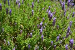 Purple flowers on lavender bush royalty free stock photos
