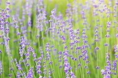 Purple flowers of lavender. Stock Image
