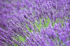 Purple flowers of lavender on the field in Provence France. Scenes with travel concept may be used as cover photo or quotes background Royalty Free Stock Image