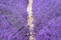 Purple flowers of lavender on the field in Provence France. Scenes with travel concept may be used as cover photo or quotes background Royalty Free Stock Images