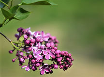 Purple flowers with leaves. The branch of lilac on the blurred green  background. Spring, lilac bush, horizontal frame, close-up, macro, Isolated. Place for Stock Photo