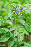 Purple flowers and leaves of ripe potatoes Stock Photography