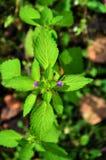Purple flowers of lemon balm. lat. Melissa officinalis. Close up. Vertical image stock images