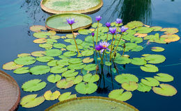 Purple Flowers and Lily Pads Royalty Free Stock Images