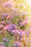 Purple flowers lit by the rays of the setting sun Stock Photos