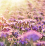 Purple flowers lit by sun light Royalty Free Stock Photo