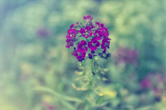 Purple Flowers. Purple little flowers with green background Royalty Free Stock Photography