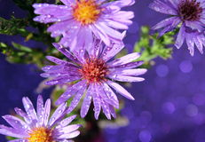 Purple Flowers. Lovely purple wild flowers with a purple background royalty free stock image