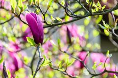 Purple flowers of magnolia tree blossom. Lovely springtime background on a bright day Royalty Free Stock Photos