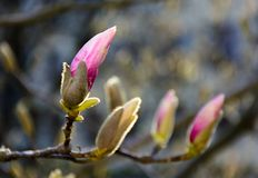 Purple flowers of magnolia tree blossom. Lovely springtime background on a bright day Stock Photo