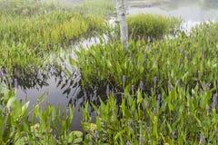 Purple Flowers in Marsh near Raquette Lake Stock Images