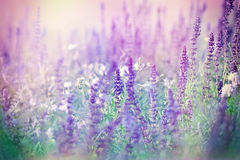 Purple flowers in meadow Royalty Free Stock Images