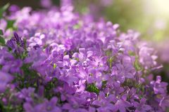 Purple flowers in meadow, beautiful nature - selective focus on flower stock images