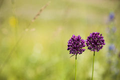 Purple flowers in a meadow royalty free stock photos
