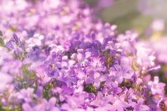 Purple flowers in meadow lit by sunlight - sunbeams Royalty Free Stock Image