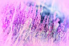 Purple flowers in a meadow made with color filters. Selective and soft focus on flower royalty free stock photography