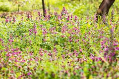Purple flowers on the medow Royalty Free Stock Photos